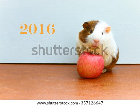 Guinea pig stepped on the apples and sitting on the desk for happy new year 2016, a popular household pet. - stock photo