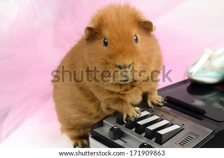 guinea pig, tulle, tape recorder - stock photo