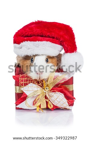 Guinea pig with a christmas present and santa's hat - stock photo