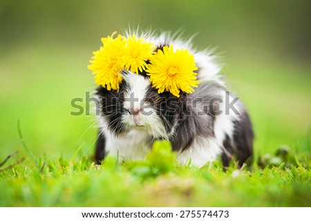 Guinea pig with wreath of dandelions on its head - stock photo