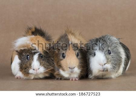 Guinea pigs - stock photo