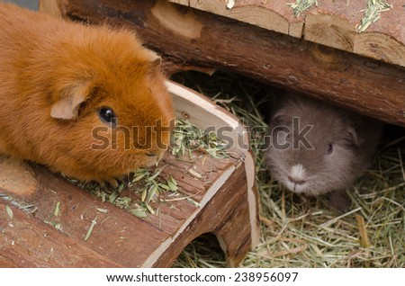 guinea pigs at home (US-Teddy) - stock photo