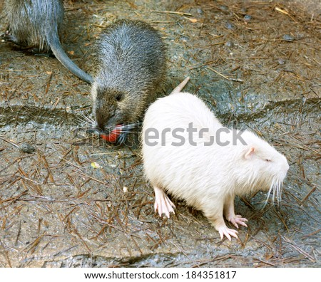 guinea pigs grey and white - stock photo