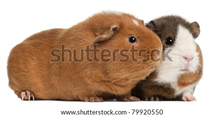 Guinea pigs, 9 months old, in front of white background - stock photo