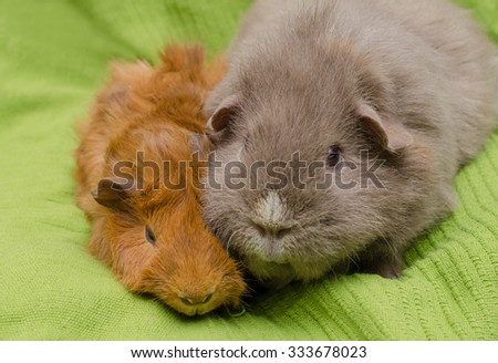 guinea pigs: young shorthaired peruvian red and slate blue adult curly - stock photo