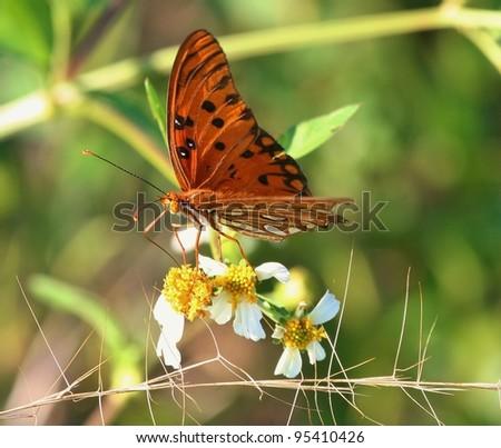 Gulf Frittilary on a wildflower. - stock photo