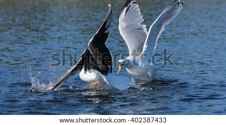 Gull fight. These gulls doesn't like each other and have  a tough fight - stock photo