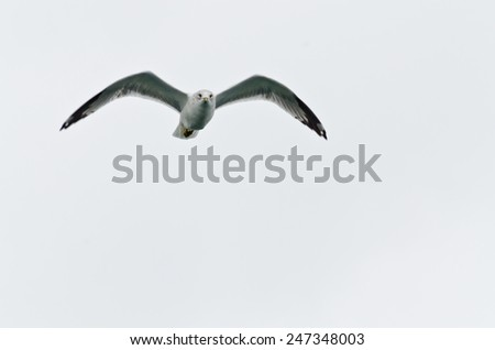 Gull in flight on white sky background - stock photo