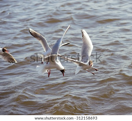 Gulls flying and fighting for food. focus on the right bird - stock photo