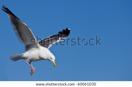 Gulls (often informally called seagulls) are birds in the family Laridae. - stock photo