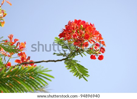 Gulmohar flowers on blue sky - stock photo
