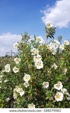 Gum rockroses - Cistus ladanifer in field at Portugal - stock photo