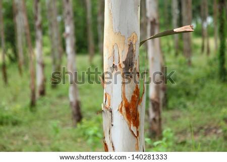 Gum tree eucalyptus - stock photo