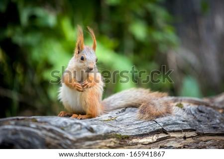 Gunny squirrel looking sideways - stock photo