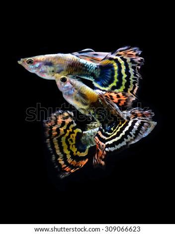 guppy fish isolated on black background  - stock photo
