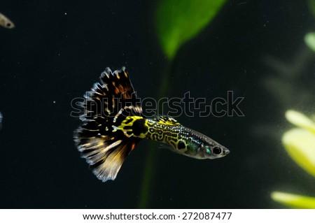 Guppy Multi Colored Fish in a Tropical Acquarium - stock photo