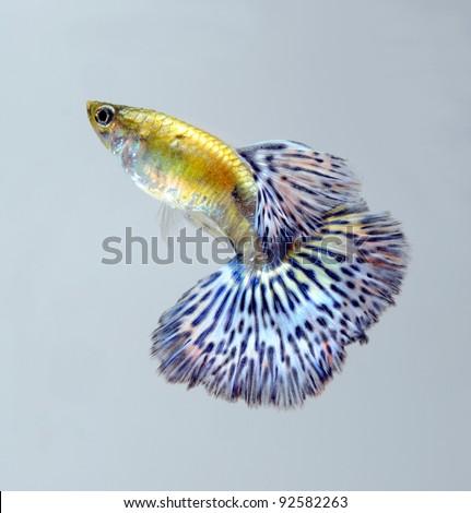 guppy pet fish swimming isolated - stock photo