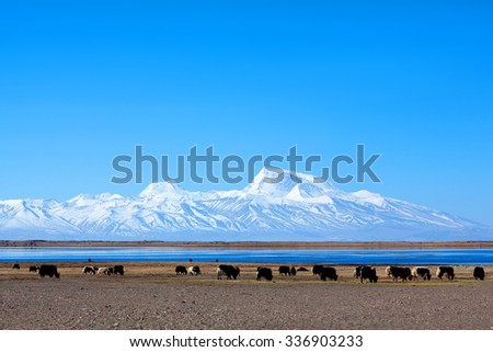 Gurla Mandhata Mount and herd of yaks in Tibet, China. Gurla Mandhata is the highest peak of the Nalakankar Himal, a small subrange of the Himalaya. - stock photo