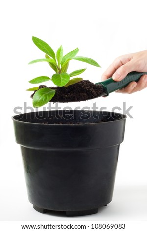 Gynura procumbens (herbal plant) is being planted on black pot with white background. - stock photo
