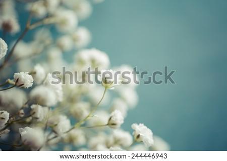Gypsophila (Baby's-breath flowers), close up - stock photo