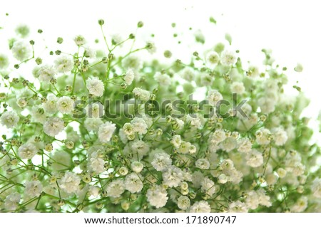 Gypsophila (Baby's-breath flowers), light, airy masses of small white flowers.  - stock photo