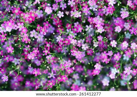 gypsophila flower as background. - stock photo