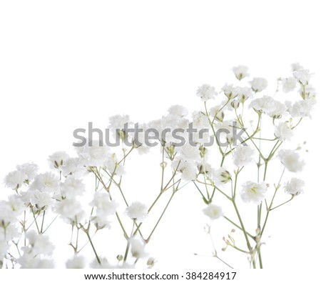 Gypsophila isolated on white background. Shallow depth of field. Selective focus - stock photo