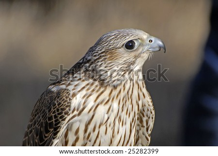Gyrfalcon. This falcon is an hybrid, very valuable between falconry enthusiasts - stock photo