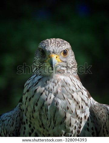 Gyrfalcons are living in arctic regions of the northern hemisphere. In the medieval era, the gyrfalcon was owned only by kings and emperors. They where used for hunting. - stock photo