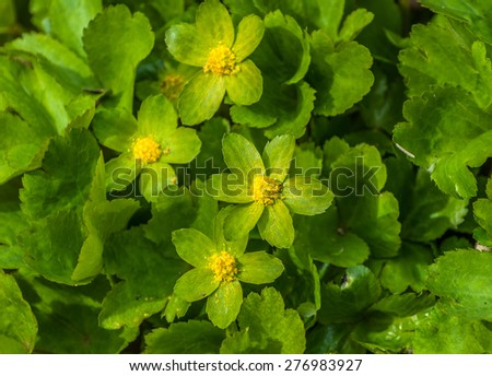 Hacquetia epipactis woodland flowers in early Spring. - stock photo