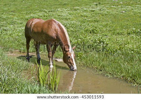 Haflinger horse cools off in a brook on an alpine meadow in Upper Bavaria - stock photo