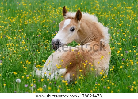 Haflinger horse, foal resting in a flowering meadow - stock photo