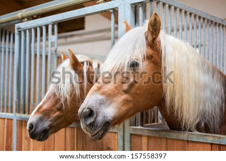 Haflinger horses in stable - stock photo