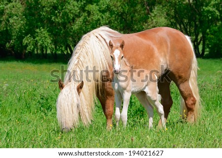Haflinger mare with a long flaxen mane and her cutie foal close together in a pasture - stock photo