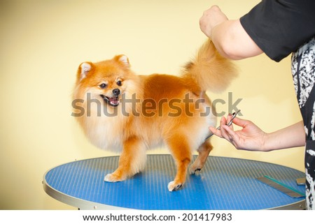 hairdresser doing haircut Spitz dogs in the beauty salon - stock photo