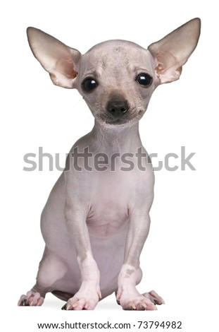 Hairless Chihuahua, 5 months old, sitting in front of white background - stock photo