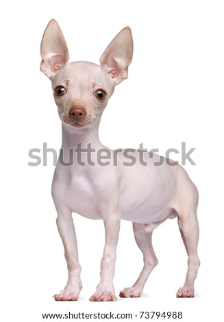 Hairless Chihuahua, 5 months old, standing in front of white background - stock photo