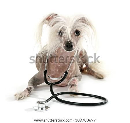 Hairless Chinese crested dog with stethoscope isolated on white - stock photo