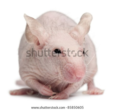 Hairless House mouse, Mus musculus, 3 months old, in front of white background - stock photo