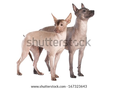Hairless Mexican xoloitzcuintle dogs isolated on white   - stock photo