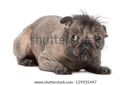 Hairless Mixed-breed dog, mix between a French bulldog and a Chinese crested dog, lying and seems guilty in front of white background - stock photo