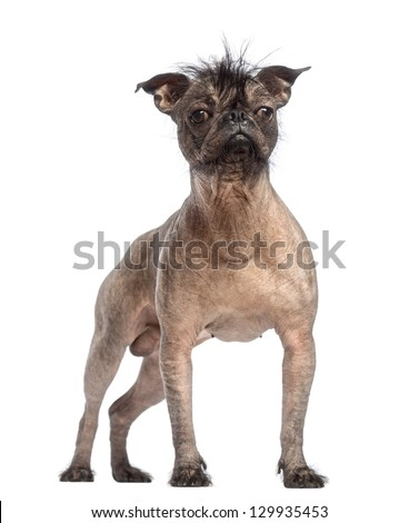 Hairless Mixed-breed dog, mix between a French bulldog and a Chinese crested dog, standing in front of white background - stock photo