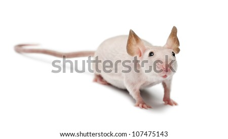 Hairless mouse, Mus musculus, portrait against white background - stock photo