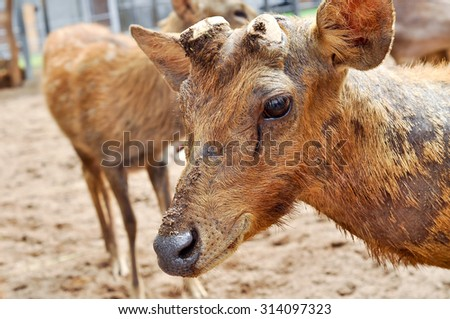Hairs of rusa deer a rough and sparse than other deer. - stock photo