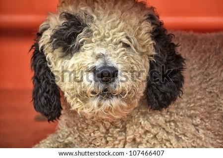 hairy black and white dog resting - stock photo