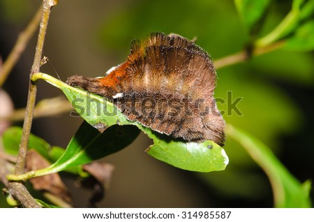 Hairy Caterpillar on a leaf - stock photo