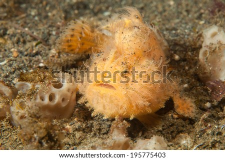 Hairy Frogfish - stock photo