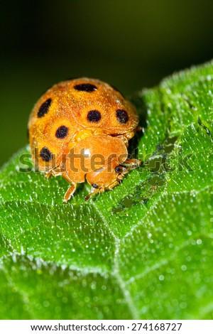 Hairy orange black-spotted ladybug in Masoala national park, Madagascar. Family pres. Epilachninae - stock photo