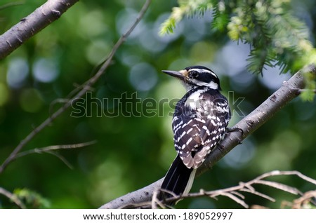 Hairy Woodpecker Perched in a Tree - stock photo