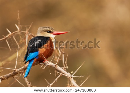 Halcyon leucocephala, called Grey headed kingfisher perched on a horny branch - stock photo